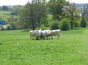 Danesbury cattle